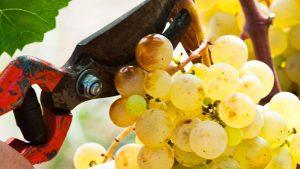 Minnegoed Wines Amistat Brut Nature Druivengalerij 3