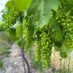 Minnegoed Wines Young Bunch